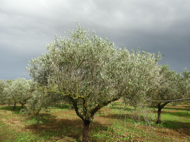 Olive Oil Sardinia