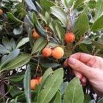 Sardinian Fruit