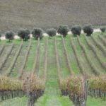 vineyards Sardinia.